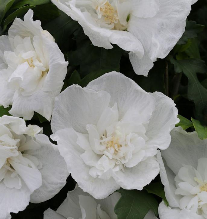Garteneibisch Diana 30-40cm - Hibiscus
