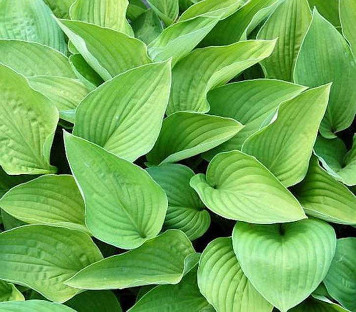 Funkie Hyacinthina - Hosta fortunei