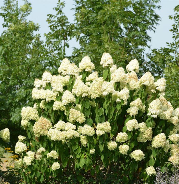 Rispenhortensie Skyfall 30-40cm - Hydrangea paniculata