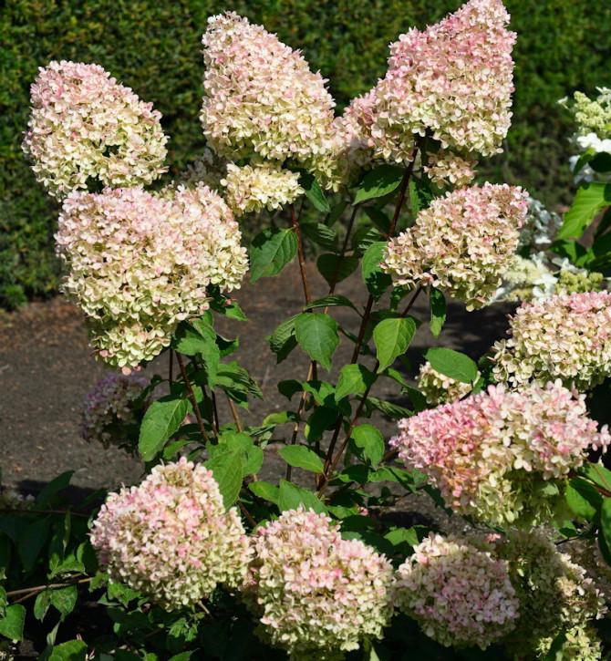Rispenhortensie Grandiflora 40-60cm - Hydrangea paniculata