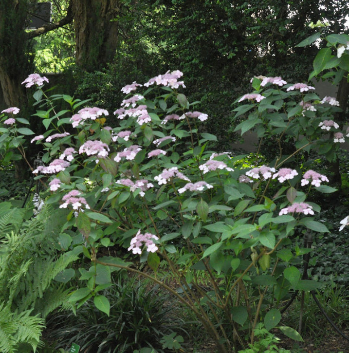 Teller Hortensie Omacha 40-50cm - Hydrangea serrata