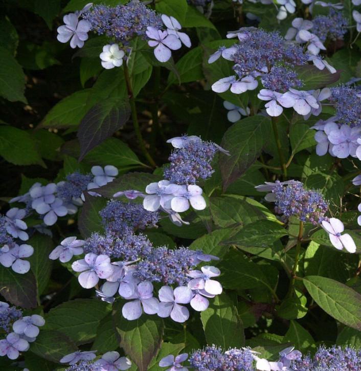 Teller Hortensie Bluebird 40-50cm - Hydrangea serrata