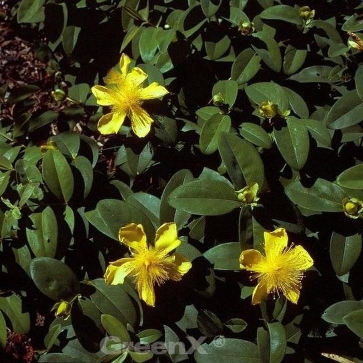 Teppich Johanniskraut Rose von Sharon - Hypericum calycinum