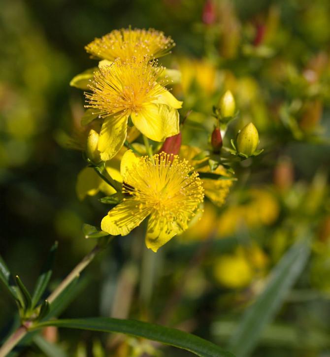 Großblumiges Johanniskraut Buttercup 30-40cm - Hypericum