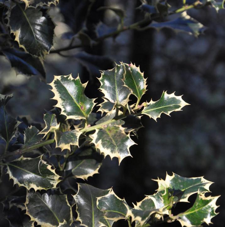 Alaska Stechpalme Ilex Silver Queen 30-40cm - Ilex aquifolium