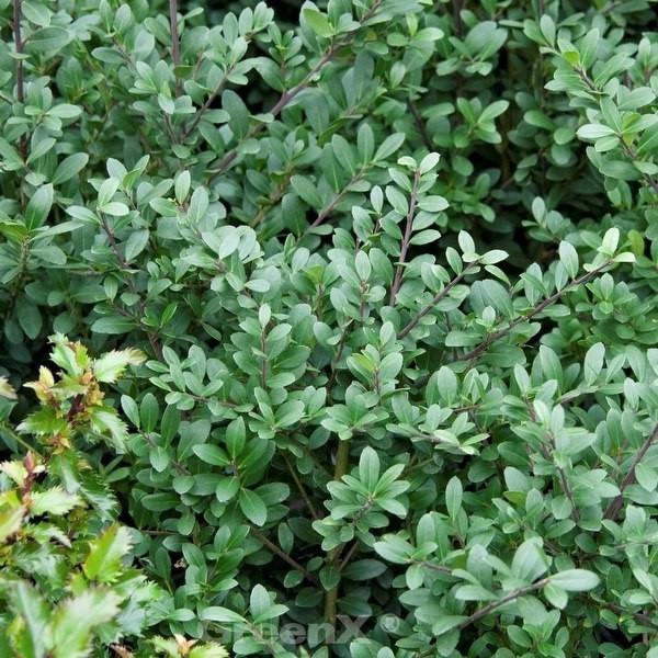 Japanischer Stechpalme Caroline Upright 15-20cm - ilex crenata