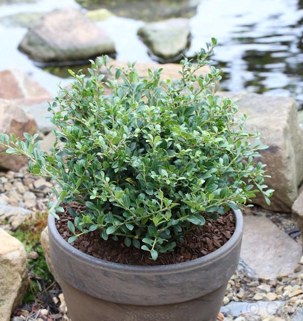 10x Löffel Ilex Dark Green 10-15cm - Ilex crenata