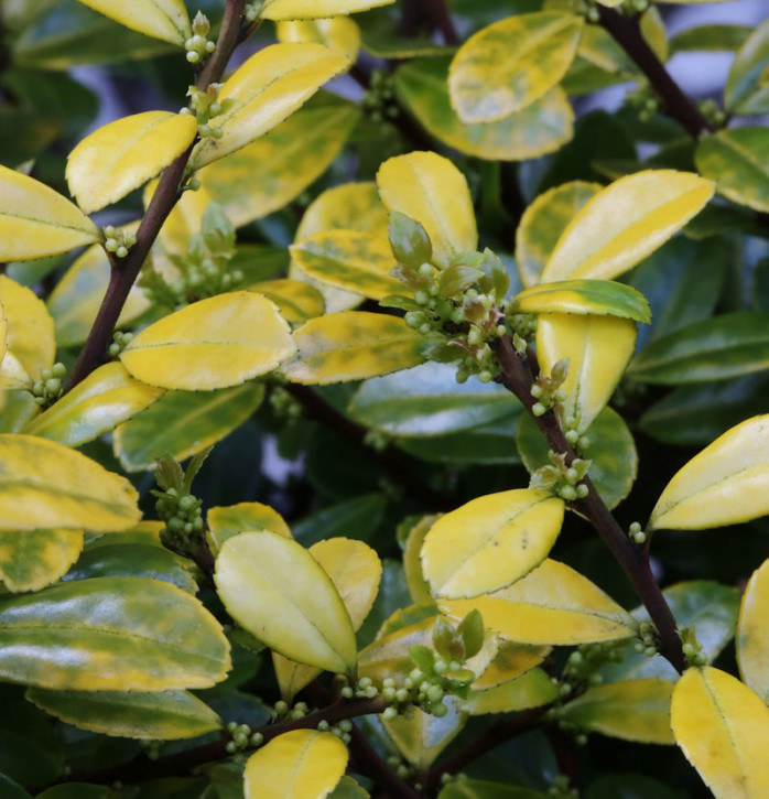 Bergilex Stechpalme Golden Rock® 25-30cm - ilex crenata