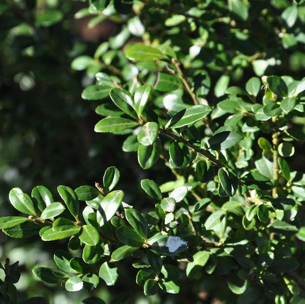 Berg Ilex Green Glory 40-60cm - ilex crenata