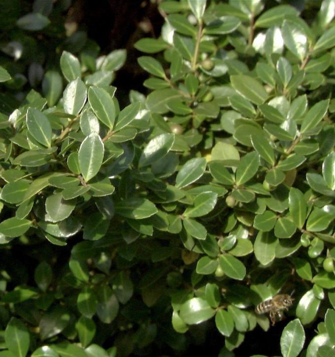 10x Stechpalme Robustico 10-15cm - Ilex crenata