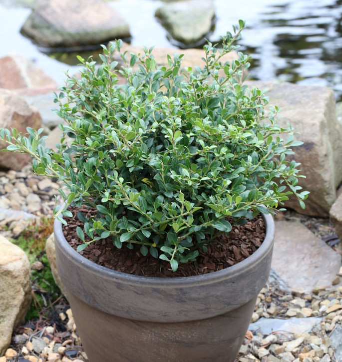 Niedriger Bergilex Stechpalme 15-20cm - ilex crenata