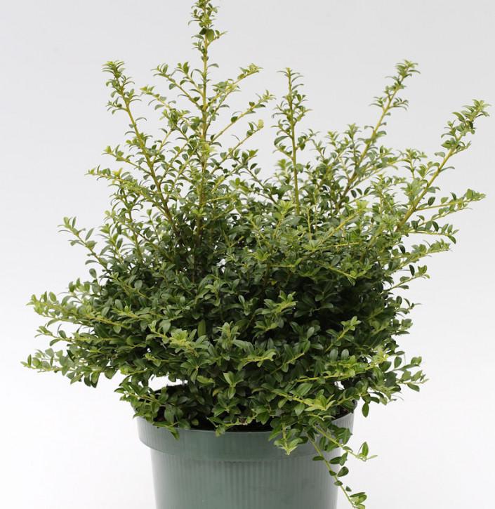 Japanische Stechpalme Ilex Twiggy 30-40cm - Ilex crenata Twiggy