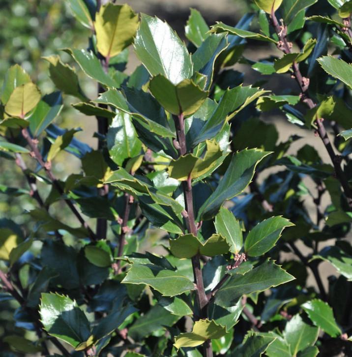 Stechpalme Ilex Gentle 30-40cm - Ilex crenata