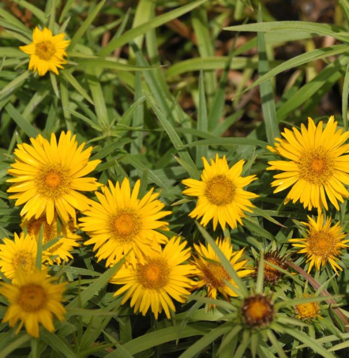 Zwergalant Compacta - Inula enisfolia
