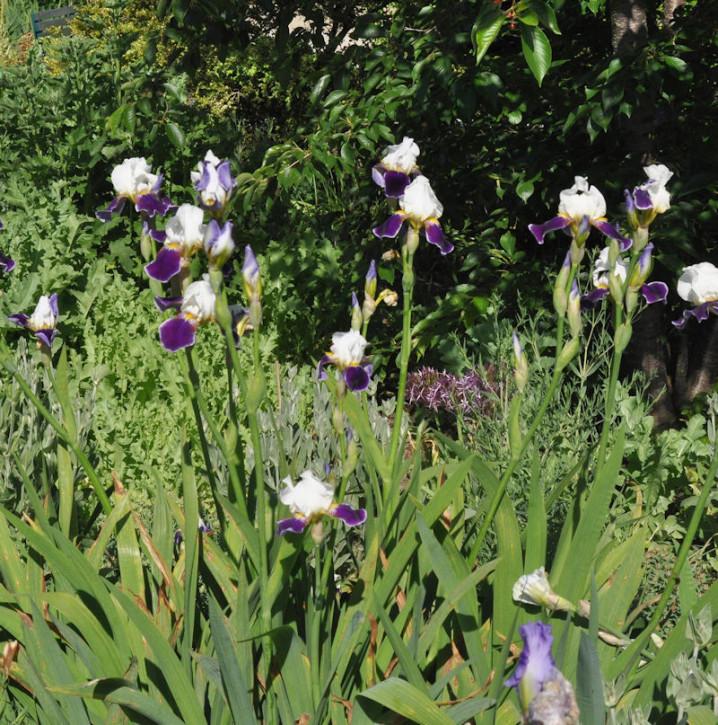 Schwertlilie Alstersegel - Iris barbata