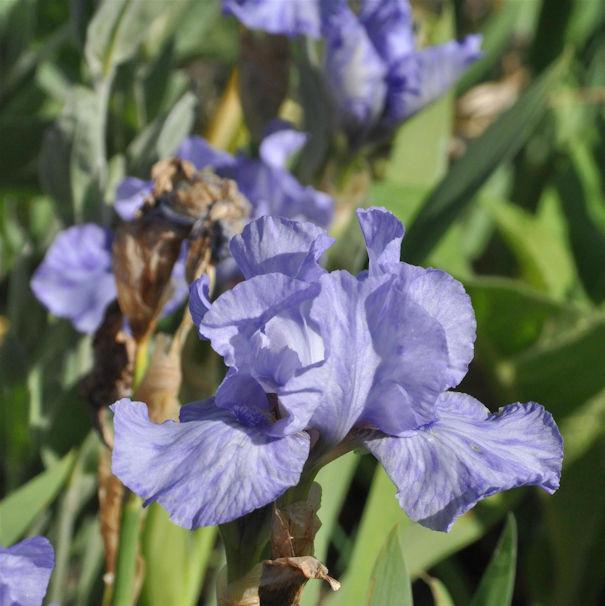 Schwertlilie Az Ap - Iris barbata