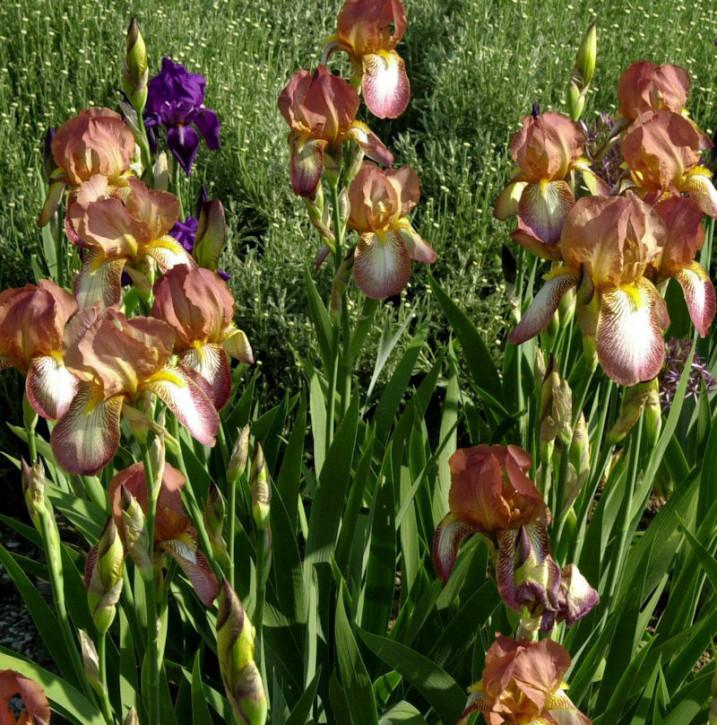Schwertlilie Bazaar - Iris barbata