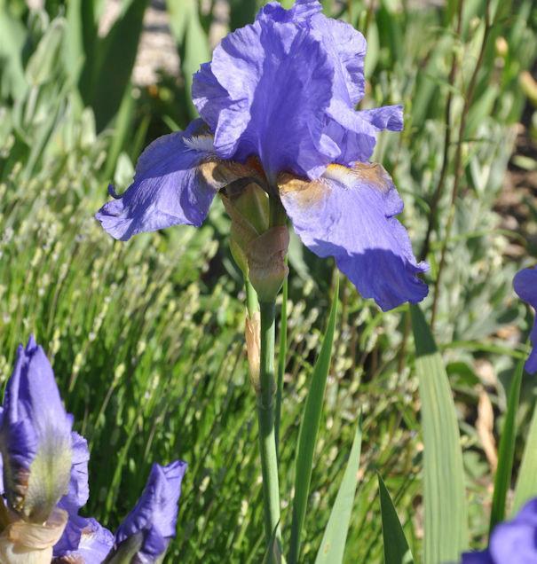Schwertlilie Bishops Robe - Iris barbata
