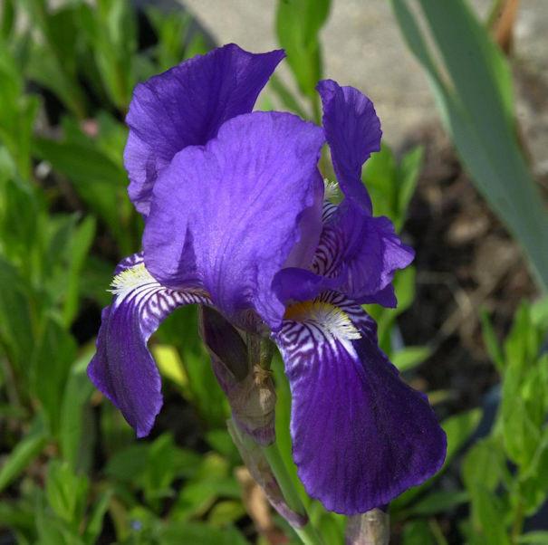 Schwertlilie Black Night - Iris barbata