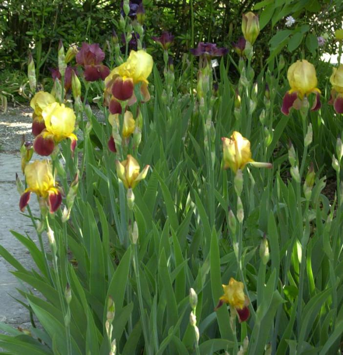 Schwertlilie Caligula - Iris barbata