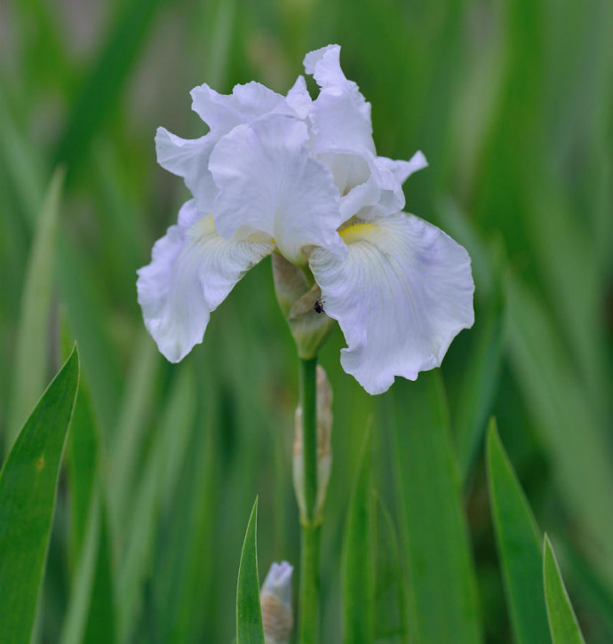 Schwertlilie Nordica - Iris barbata