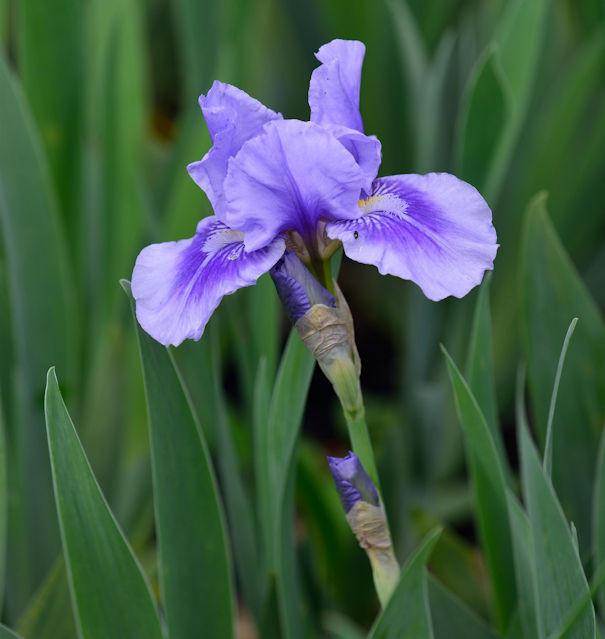 Mittelhohe Schwertlilie Bedtime Story - Iris barbata