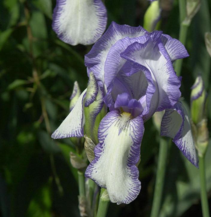 Mittelhohe Schwertlilie Bold Print - Iris barbata