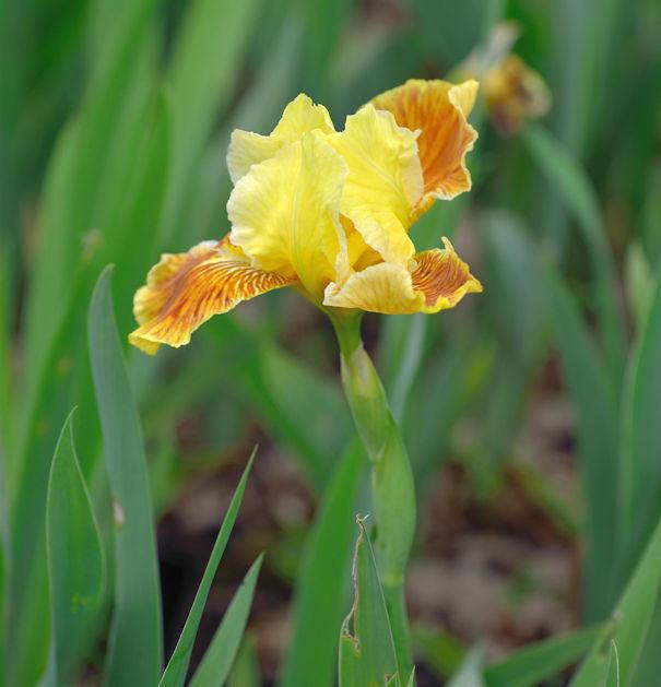 Mittelhohe Schwertlilie Golden Muffin - Iris barbata