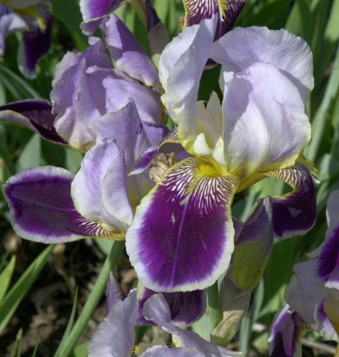 Mittelhohe Schwertlilie Hellcat - Iris barbata