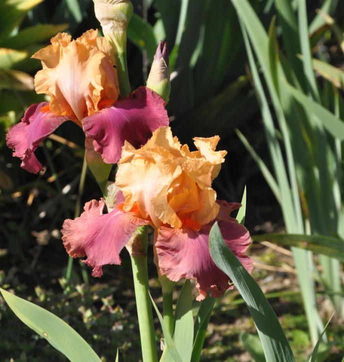 Mittelhohe Schwertlilie Meadow Court - Iris barbata