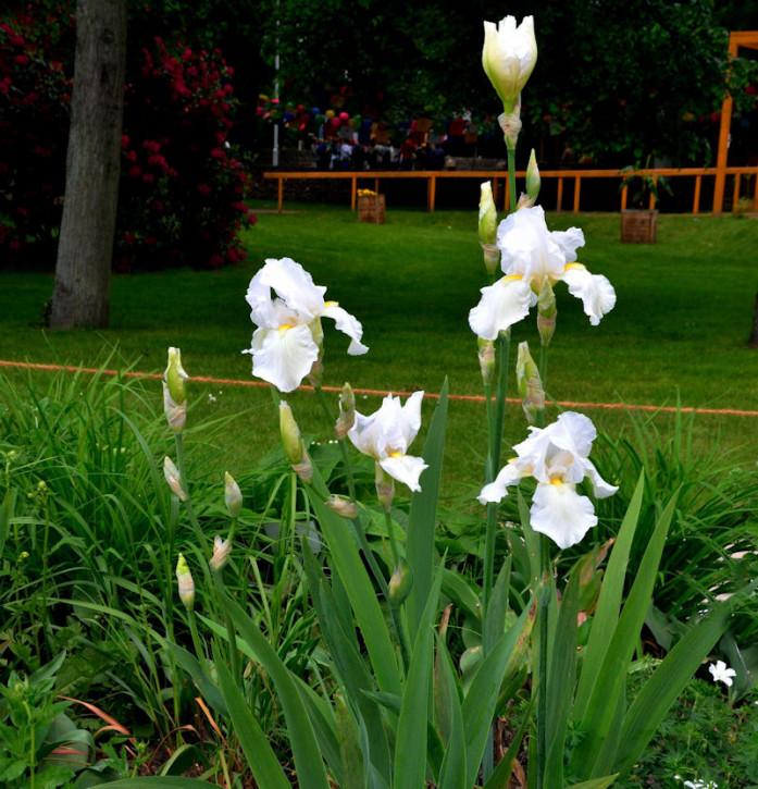 Mittelhohe Schwertlilie Nordic Crystal - Iris barbata