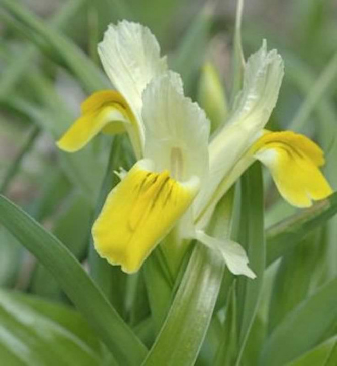 Geweih Schwertlilie - Iris bucharica