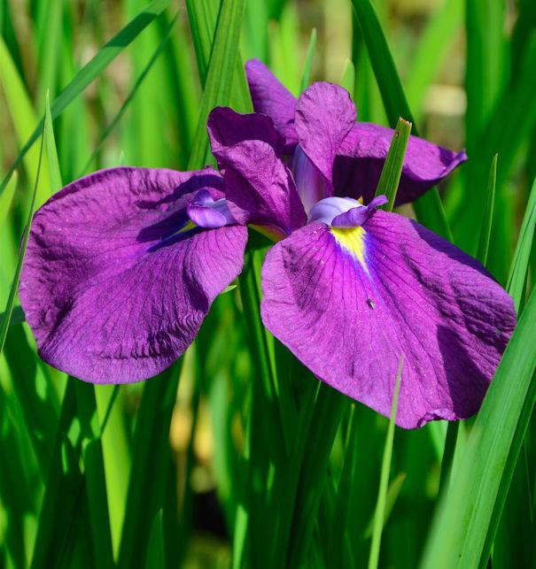 Japanische Sumpf Schwertlilie Amethyst - Iris ensata