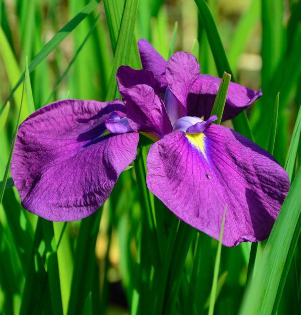 Japanische Sumpf Schwertlilie Ruby King - Iris ensata