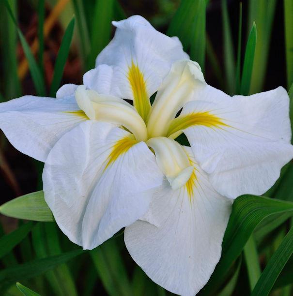 Japanische Sumpf Schwertlilie White Ladies - Iris ensata