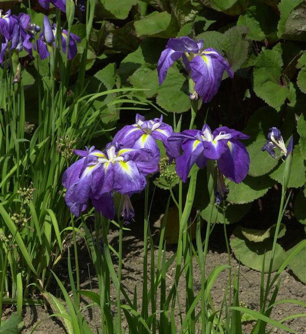 Japanische Sumpf Schwertlilie - Iris ensata