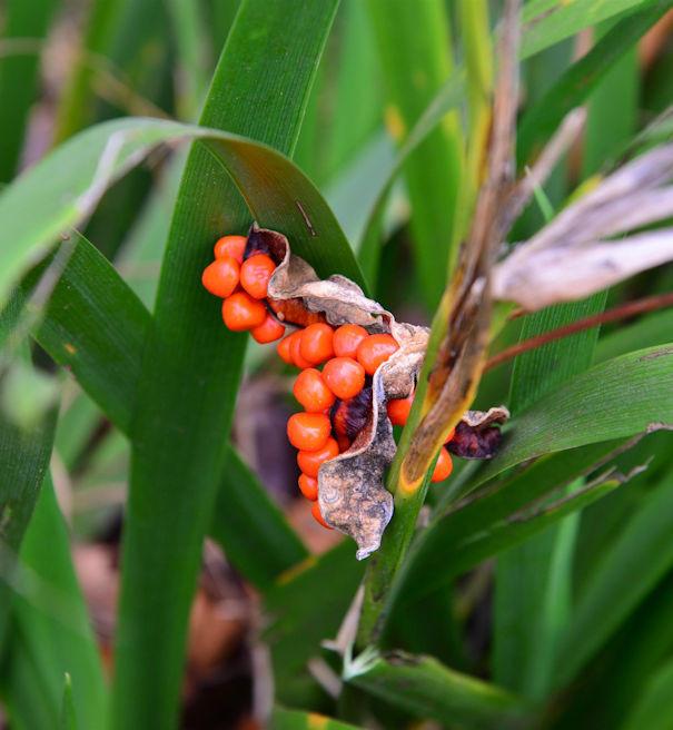 Koralleniris - Iris foetidissima