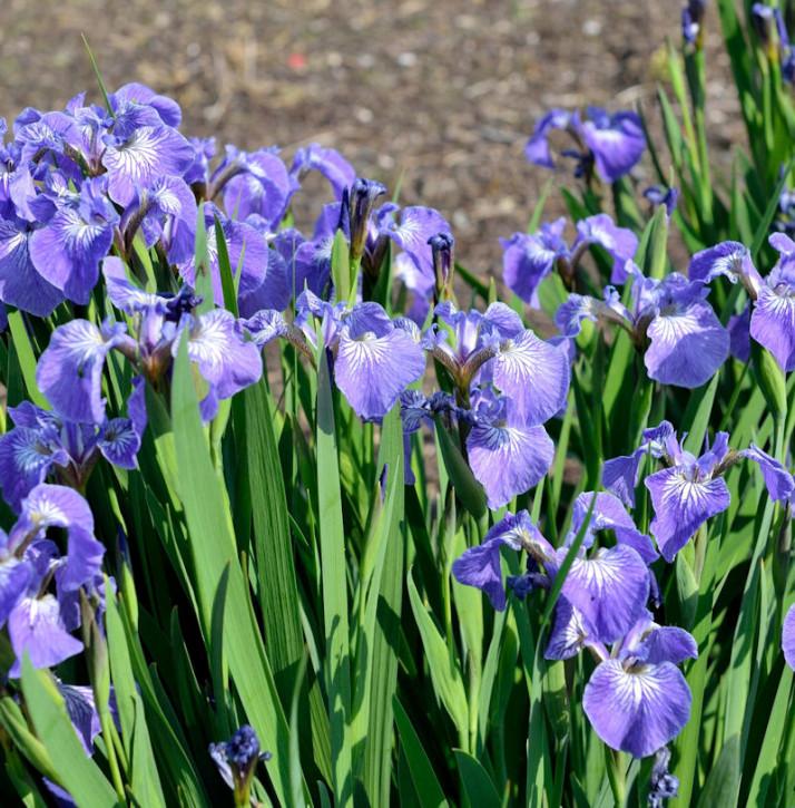 Iris Hookeri - Iris hookeri