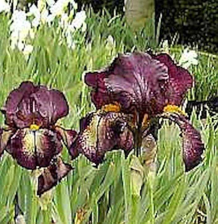 Schwertlilie Attention Please - Iris barbata