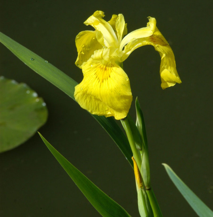 Wasserschwertlilie - Iris pseudacorus