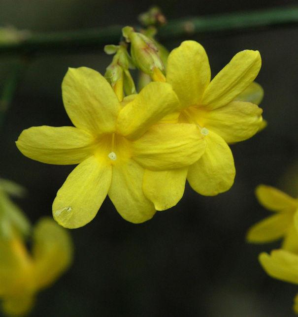 echter Winter Jasmin 40-60cm - Jasminum nudiflorum