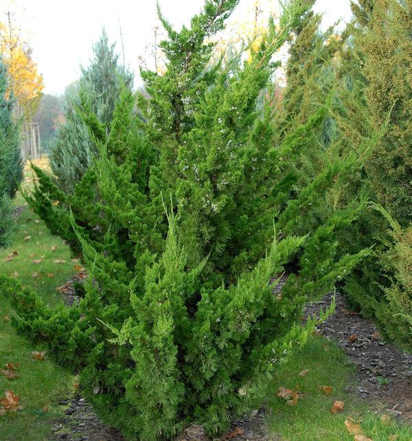 Chinesischer Wacholder Kaizuka 50-60cm - Juniperus chinensis