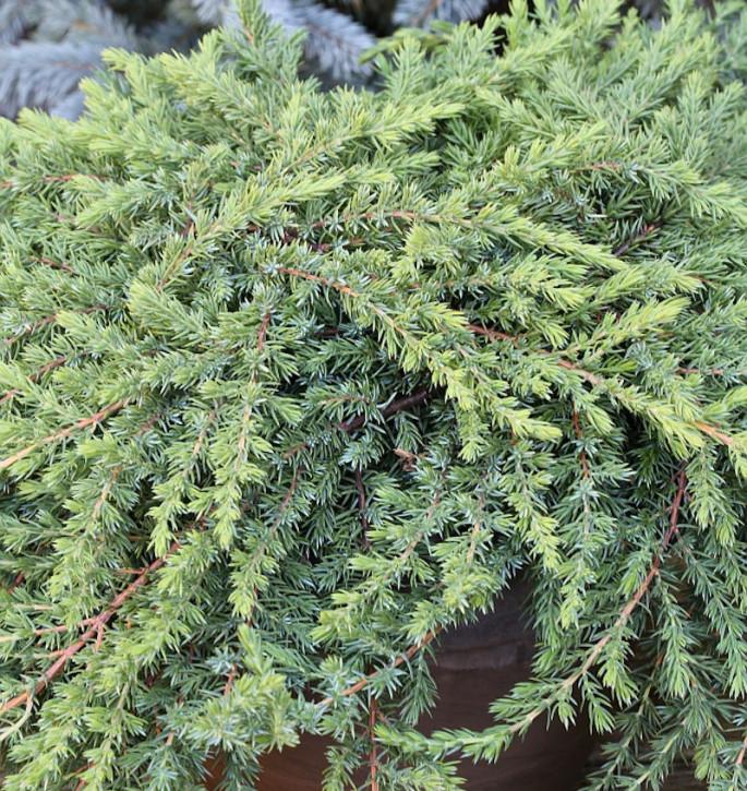 Grüner Kriechwacholder Green Mantle 15-20cm - Juniperus squamata