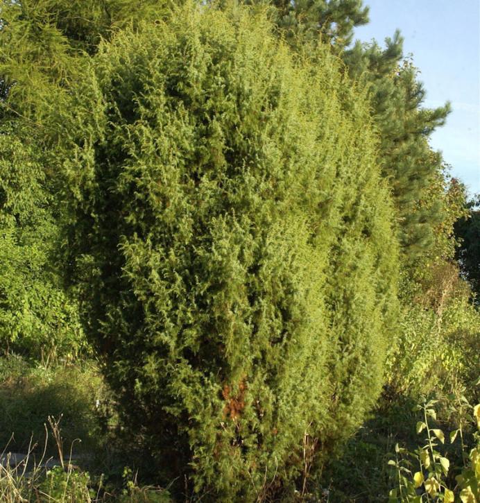 Gemeiner Wacholder 60-80cm - Juniperus communis