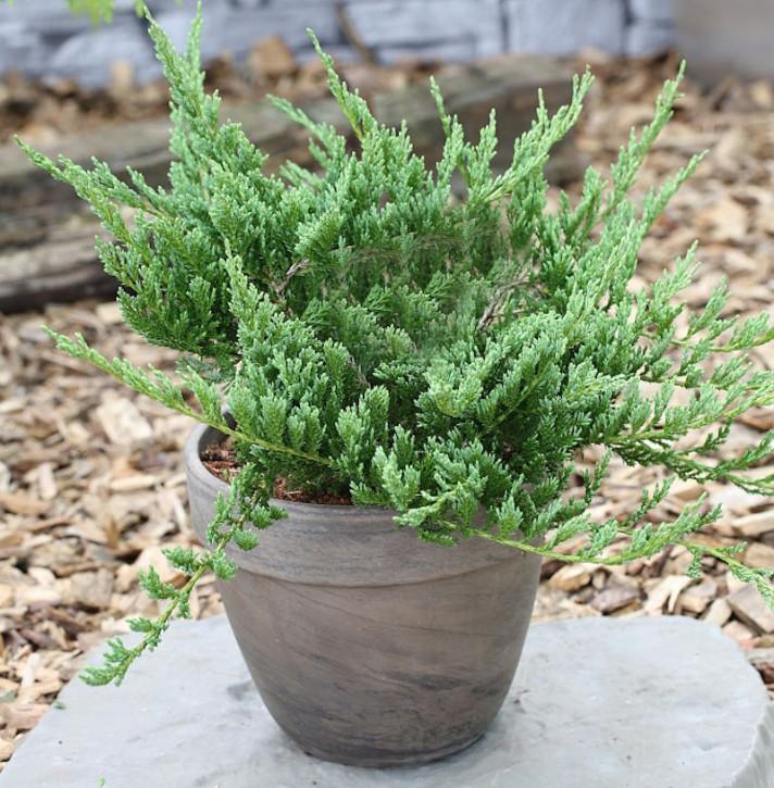 Blauer Kriechwacholder Blue Chip 25-30cm - Juniperus horizontalis