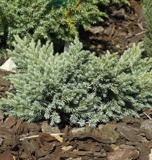 Blauer Sternwacholder 30-40cm - Juniperus squamata