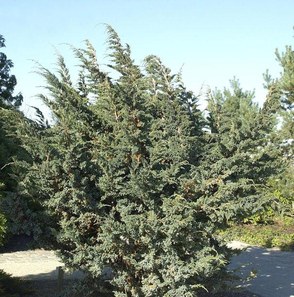 Blauzeder Wacholder 30-40cm - Juniperus squamata
