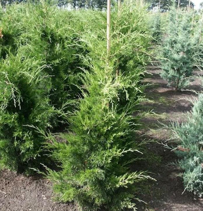 Zypressen Wacholder Canaeetii 60-80cm - Juniperus virginiana