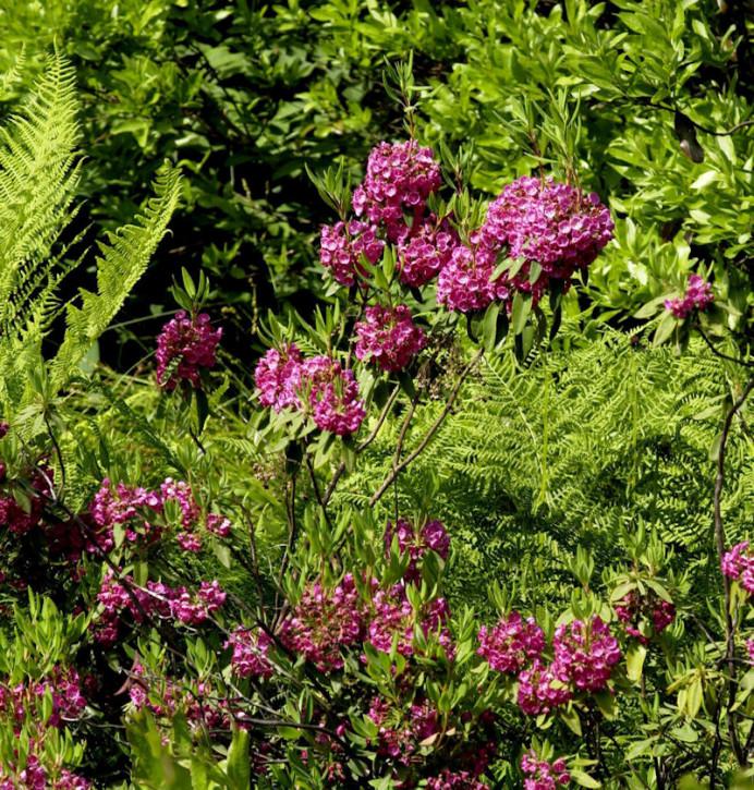 Rotes Lorbeerröslein 20-30cm - Kalmia angustifolia