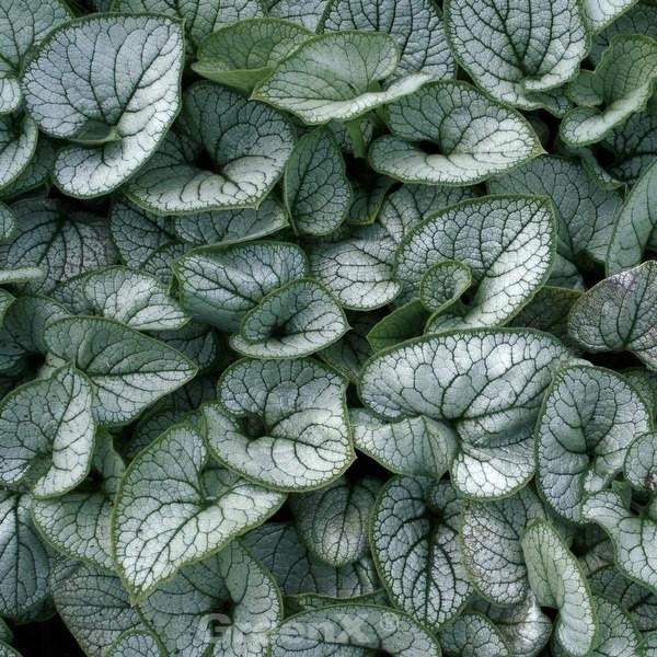 Kaukasus Vergißmeinnicht Silver Lace - Brunnera macrophylla